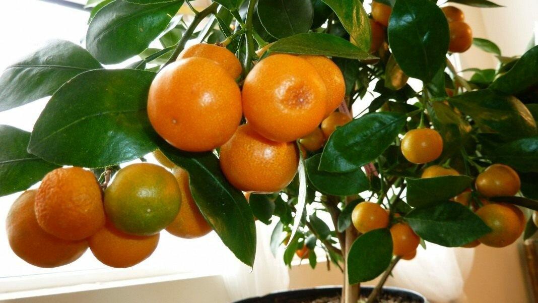 Как вырастить домашние мандарины из косточки: пошаговая инструкция
