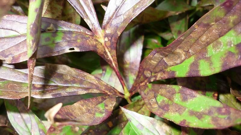 Болезни флоксов: курчавость, мучнистая роса, почему желтеют листья, другие болезни, лечение, фото