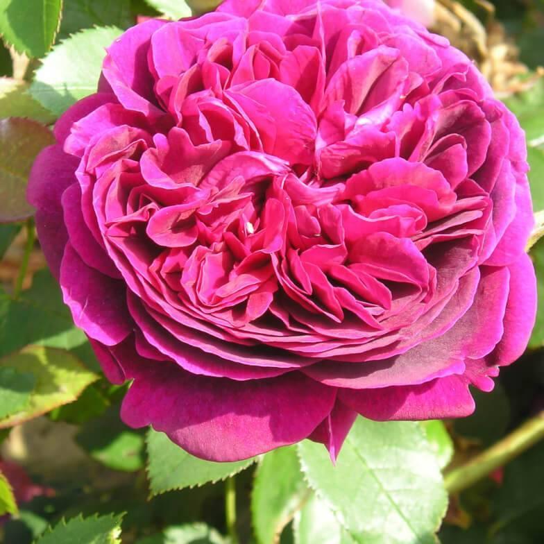 Роза плетистая казино (casino) — что это за сорт, характеристики