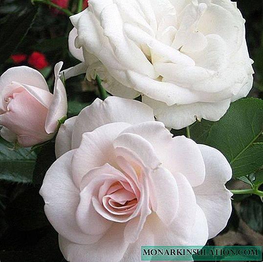 Розы флорибунда: фото, видео, названия и описание лучших сортов роз группы флорибунда