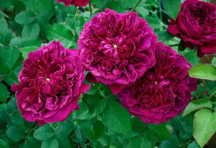 Роза эл ди брейтуэйт (l d braithwaite) — характеристики куста