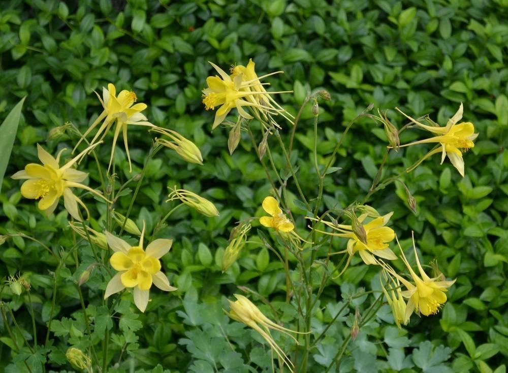 Травянистое растение для открытого грунта аквилегия или водосбор: описание с фото, размножение, выращивание и уход