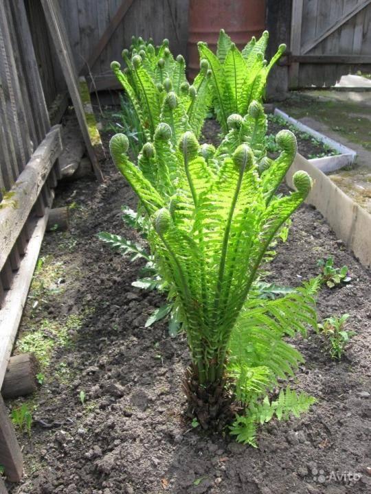 Сорта и выращивание садового папоротника
