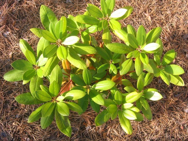 Причины пожелтения и высыхания листьев у лилейников в открытом грунте: заболевания, вредители