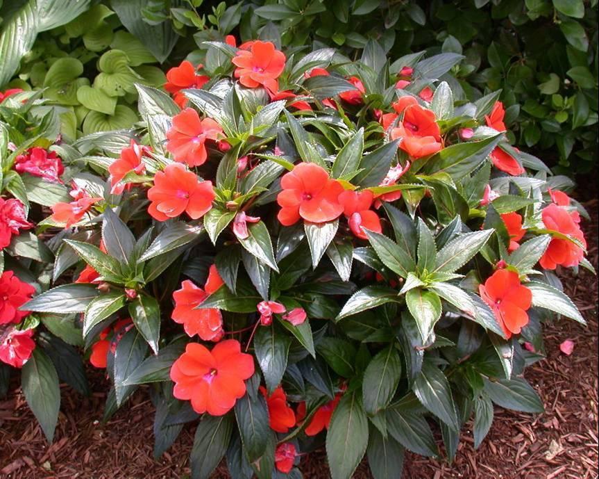 Особенности выращивания бальзамина садового