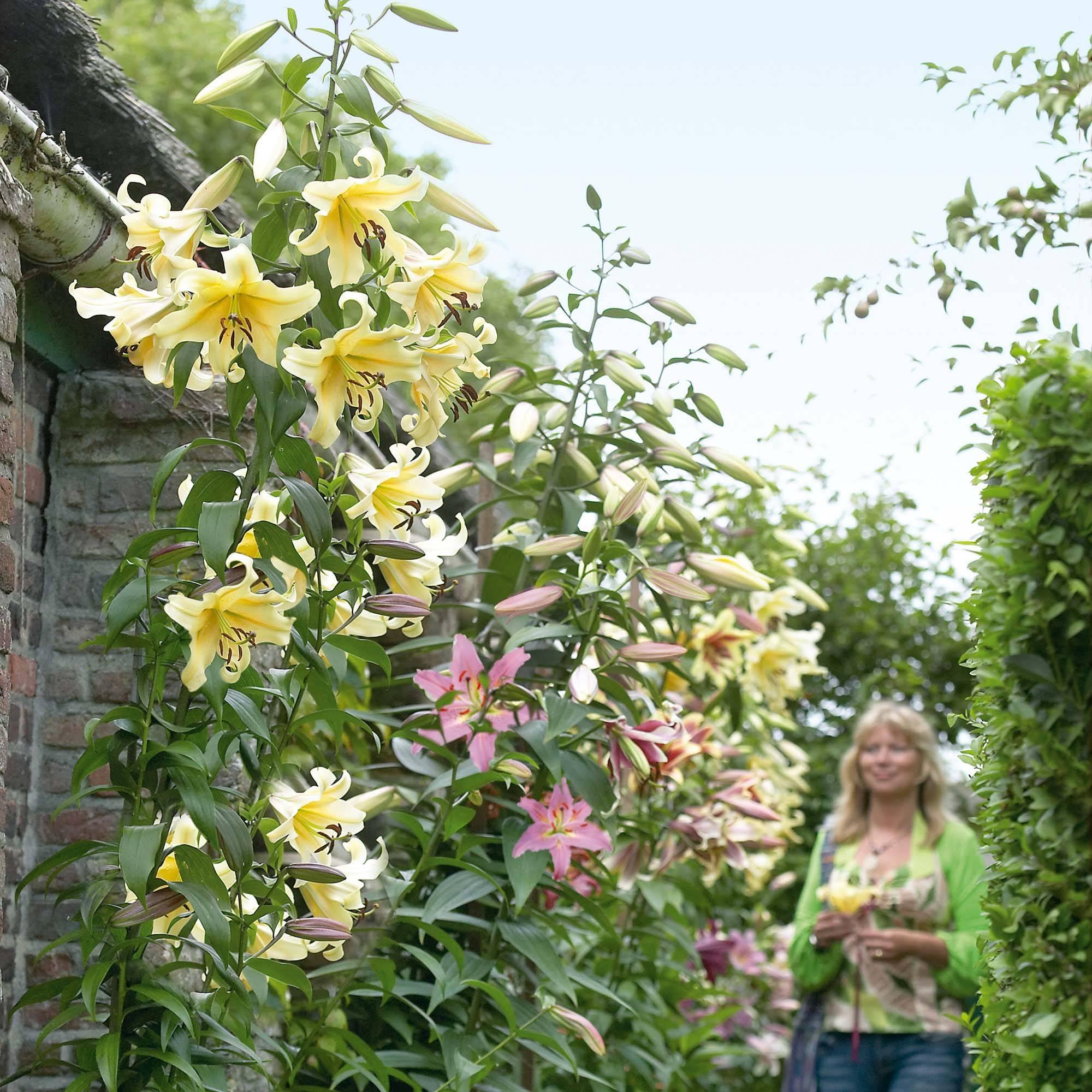 Безупречное цветущее растение — азиатская лилия: фото и уход за цветком