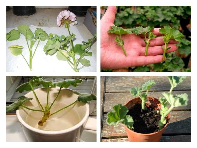 Герань — обрезка для пышного цветения, как прищипывать