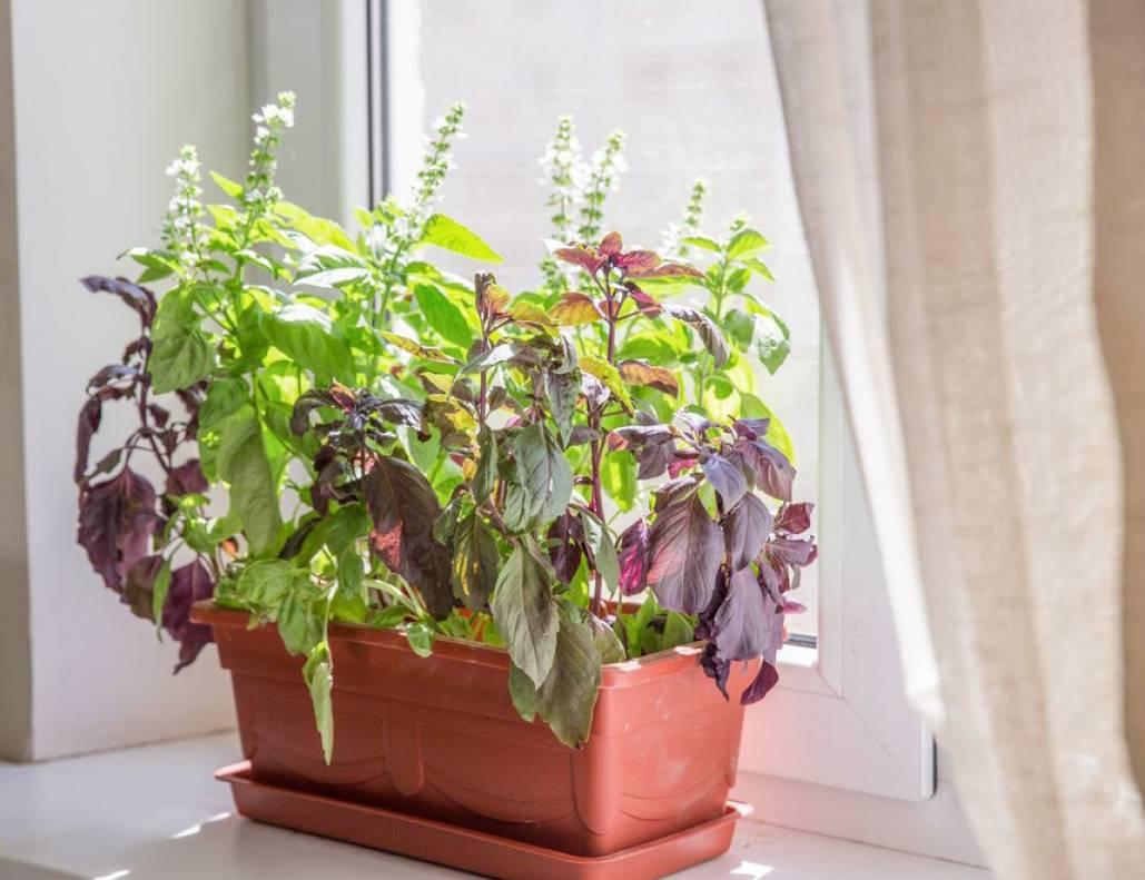 Мята: посадка и выращивание мяты в открытом грунте, в тени или на солнце