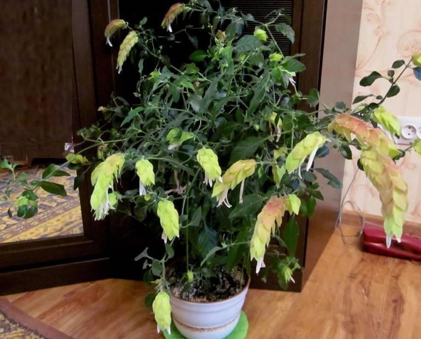 Белопероне — уход за комнатным растением в домашних условиях ?