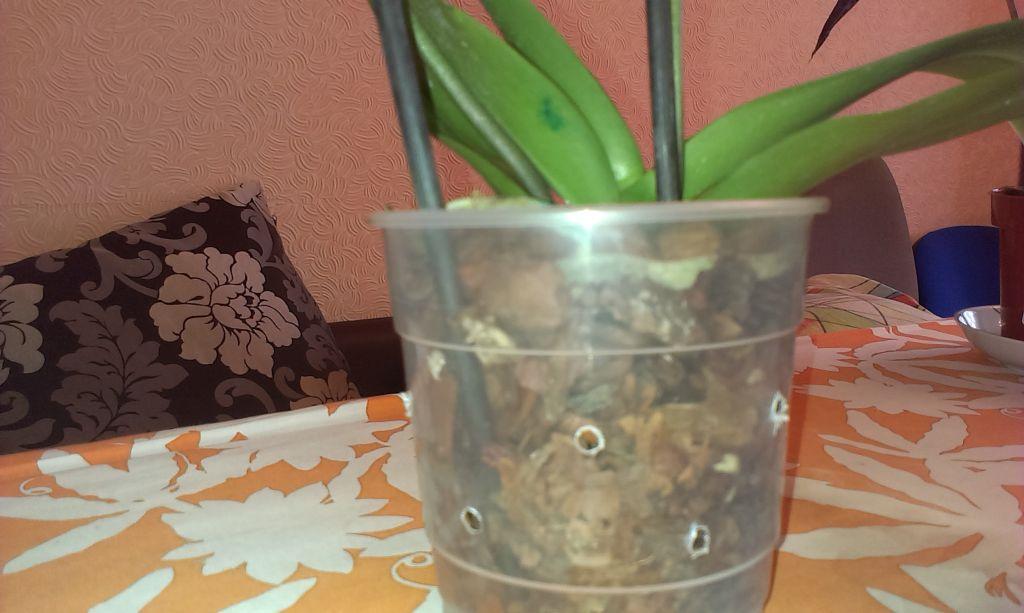 Как приготовить чесночный настой для орхидей и правильно применять