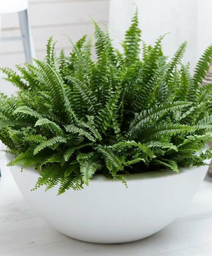 Декоративный папоротник нефролепис: фото комнатного цветка, уход в домашних условиях и размножение растения