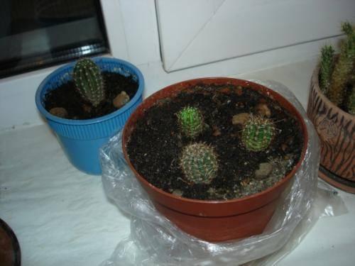 Как правильно посадить кактус?