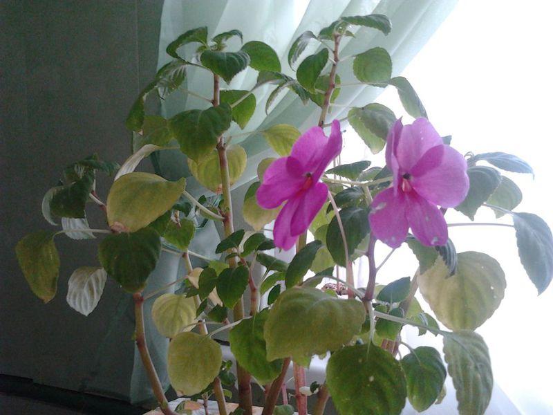 У орхидеи опали цветы: причины, почему растение быстро пропадает, а также что делать дальше и можно ли спасти, когда все нераспустившиеся бутоны увяли?