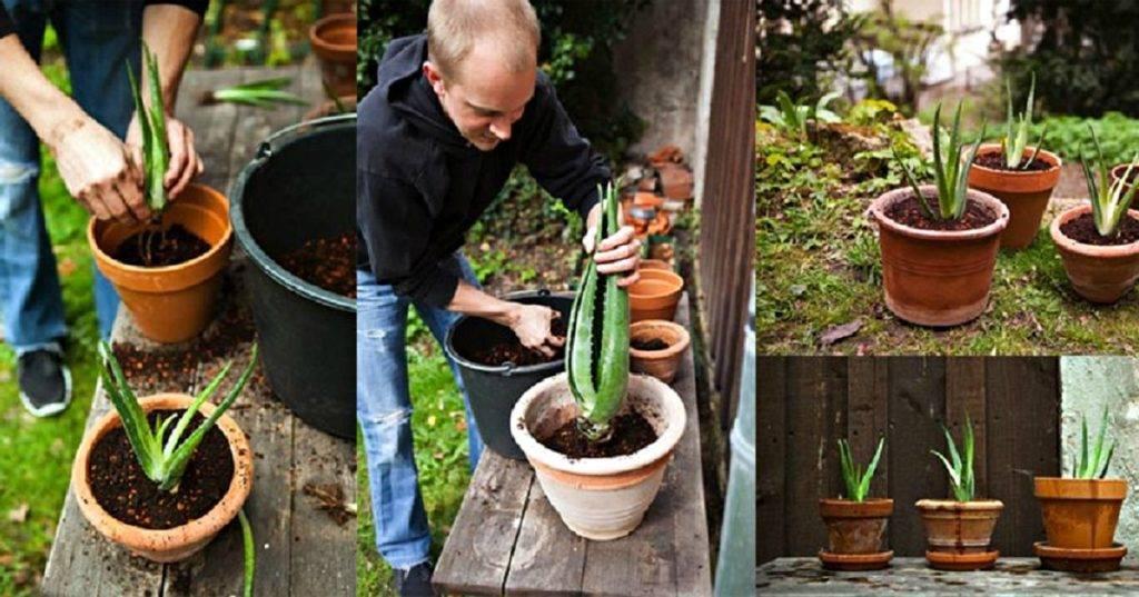 Как поливать алоэ - правила, рекомендации по уходу за растениями!