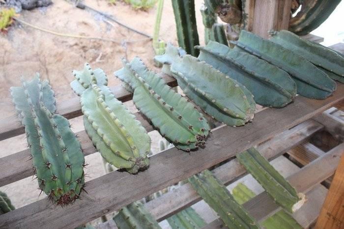 Кампсис лиана (campsis) — укореняющийся, крупноцветковый, гибридный виды