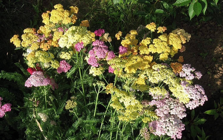 Выращивание и посадка цветка арабиса (резухи): как ухаживать, поливать, подкармливать