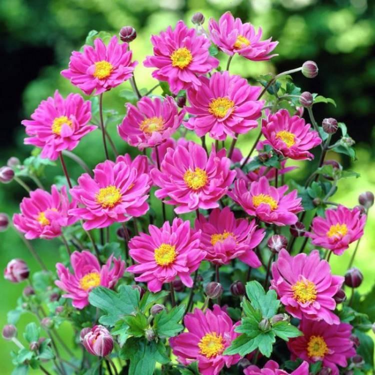 Цветок мелколепестник: описание видов, посадка и уход