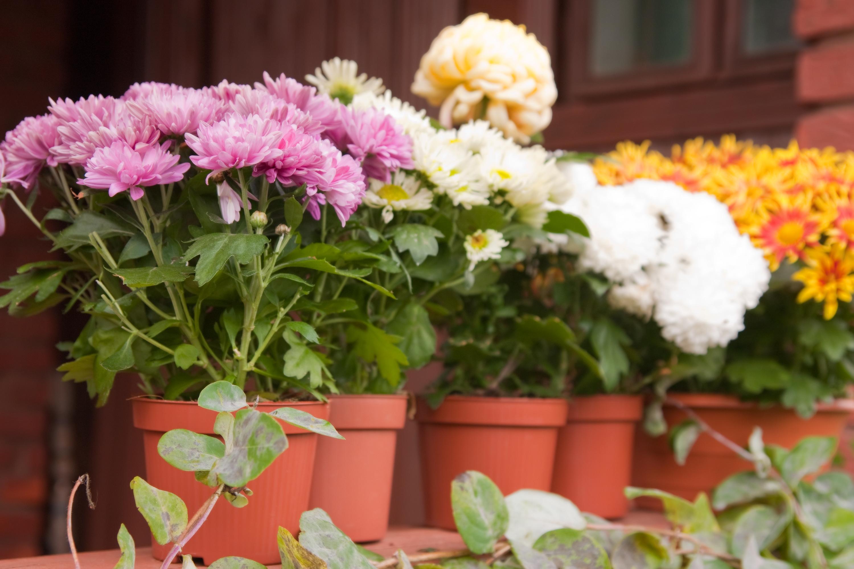 Как правильно ухаживать за хризантемами?