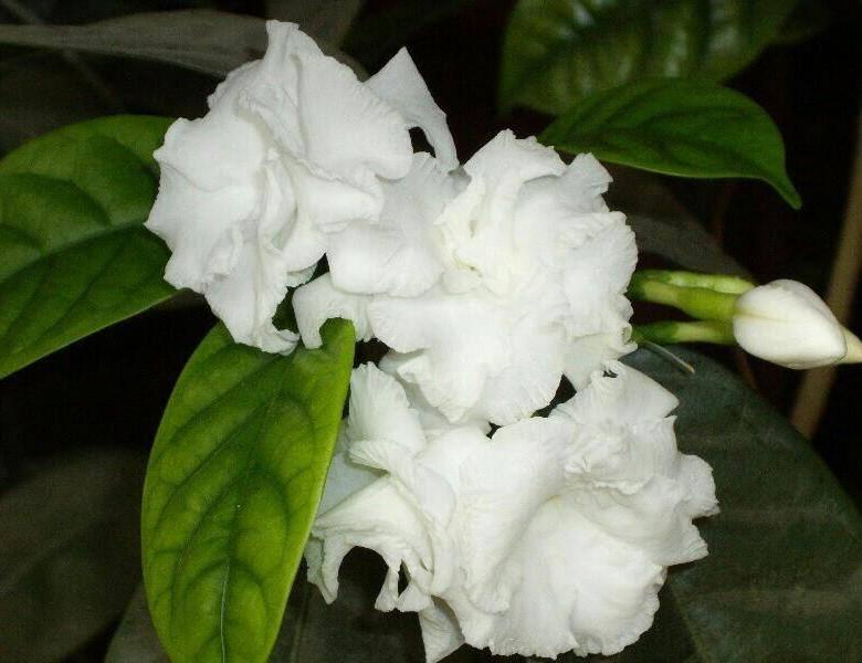 Цветок табернемонтана: фото, видео ухода в домашних условиях, болезни и вредители растения
