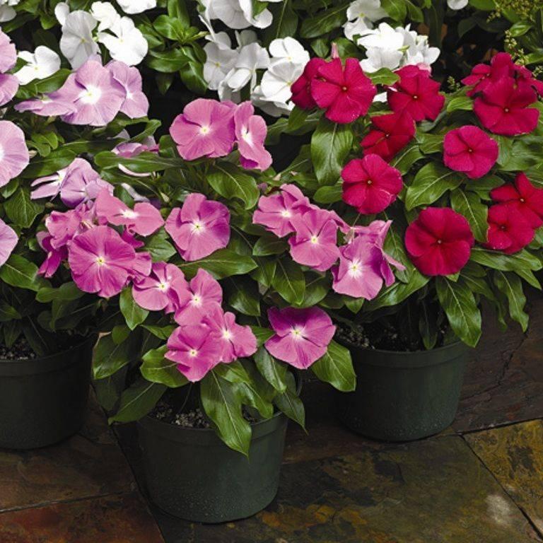Катарантус цветок ампельный: выращивание и уход в домашних условиях