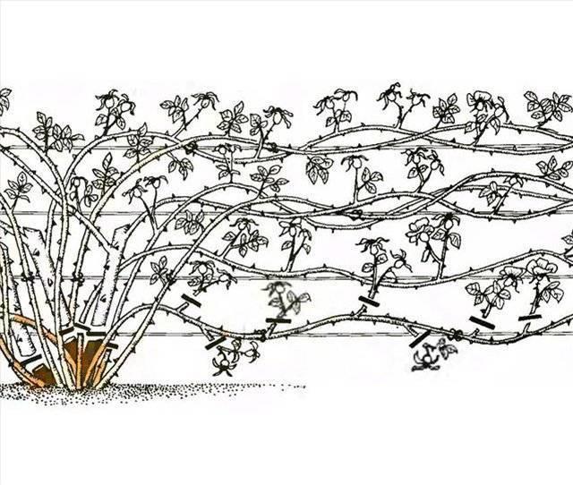 Летняя обрезка роз: способ продлить цветение