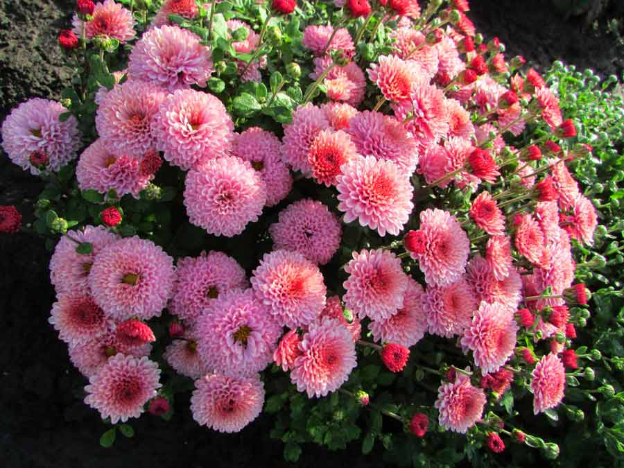 Хризантемы мультифлора: особенности и выращивание