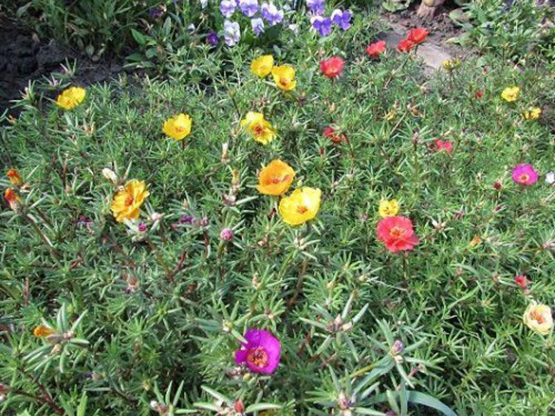 Портулак: как его посадить и позаботиться. яркое решение для газона.