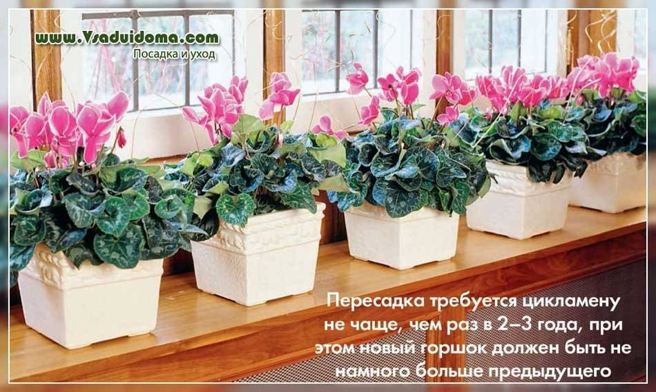 Размножение цикламена (18 фото): как размножить комнатный цветок листьями и розетками в домашних условиях?