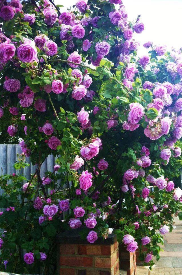 Плетистая роза «индиголетта» (23 фото): описание сорта, особенности посадки и ухода, отзывы
