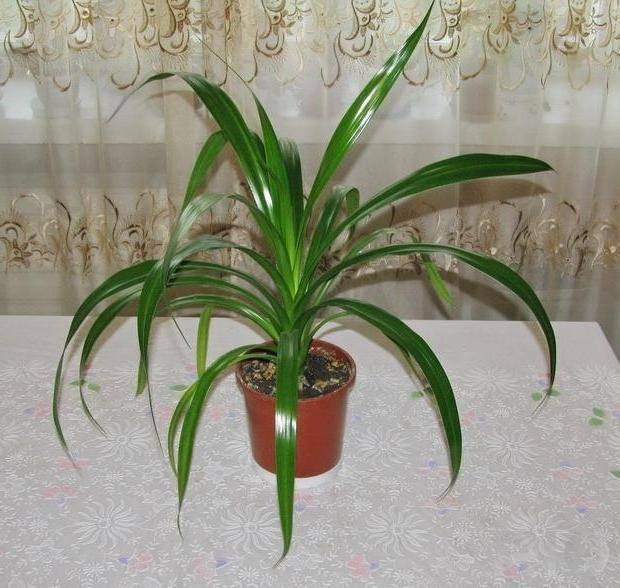 Панданус — винтовая пальма