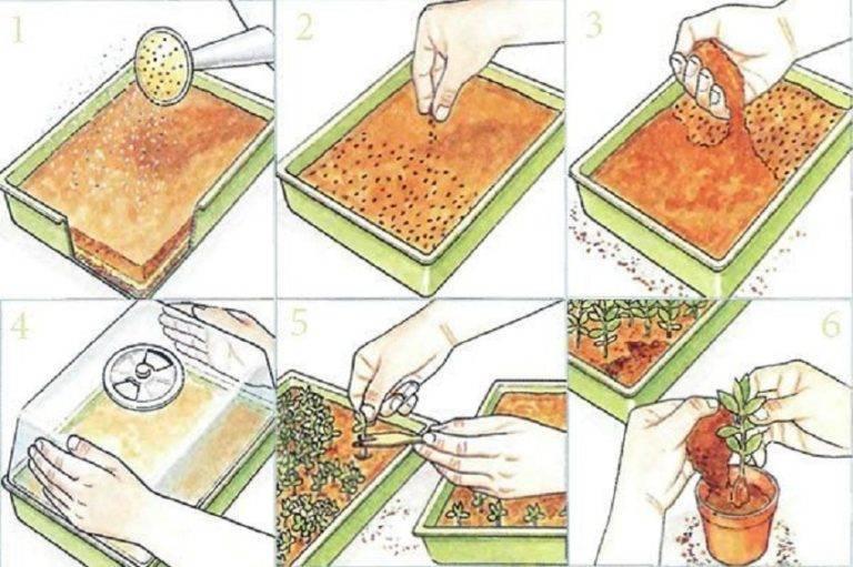 Размножение очитка (седума): семенами, черенкованием, в зимний период