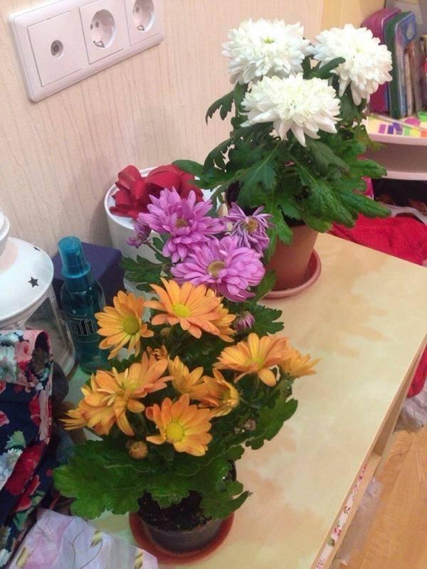 Хризантема в горшке: нюансы содержания дома во время вегетации и зимовки