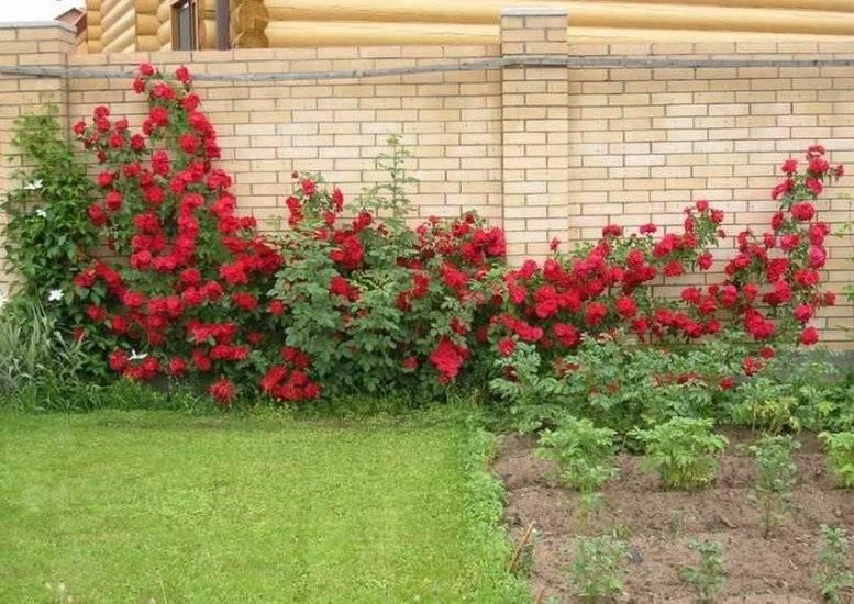 Описание розы фламентанц: когда сажать плетистый сорт, болезни и вредители