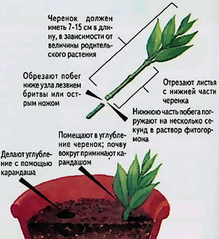 Экзотика дома: как вырастить рео растение
