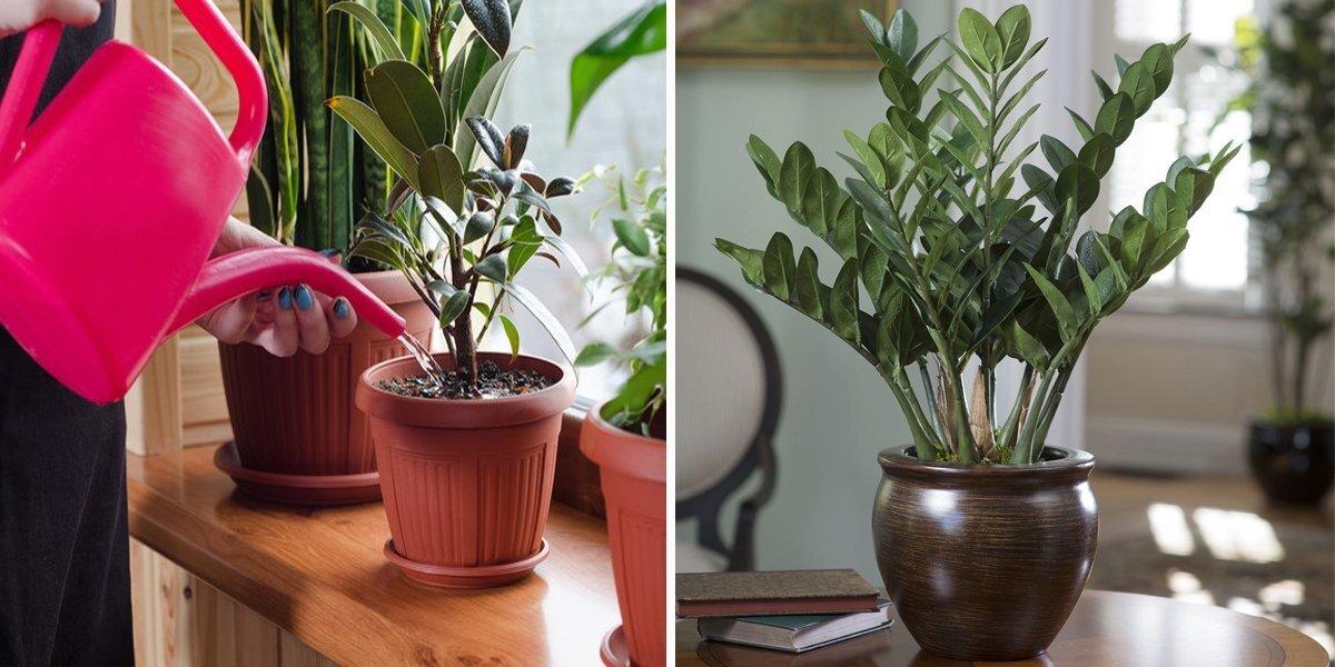 Болезни и вредители замиокулькаса (17 фото): что делать если на стеблях и стволе «долларового дерева» появились темные пятна?