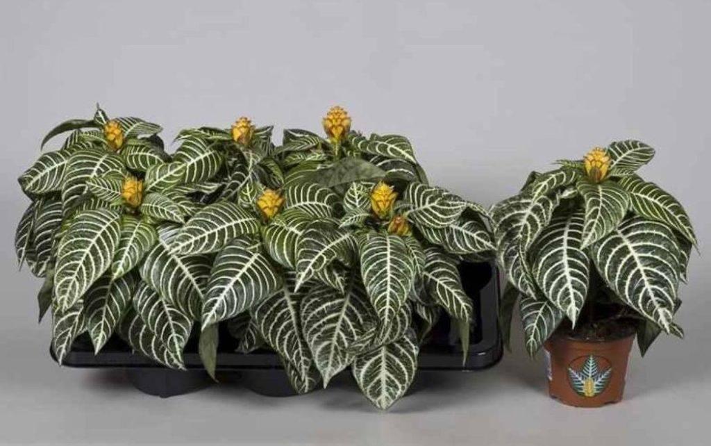 Уход в домашних условиях за афеландрой, особенности размножения и фото цветка