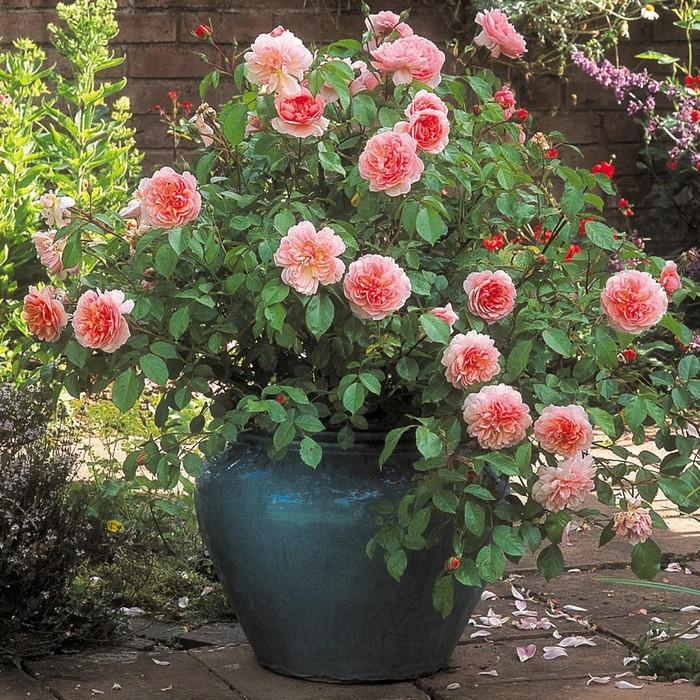 Роза «сантана» (31 фото): описание плетистой розы, посадка и уход за ней. достоинства и недостатки сорта