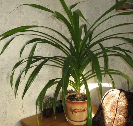 Панданус: как вырастить тропического великана в домашних условиях