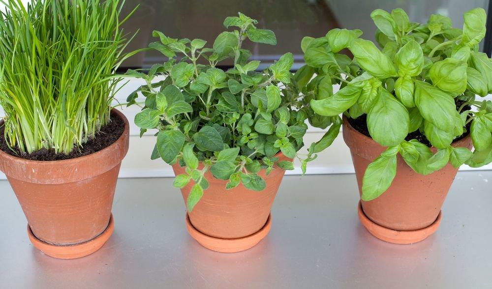 Особенности выращивания мяты в домашних условиях