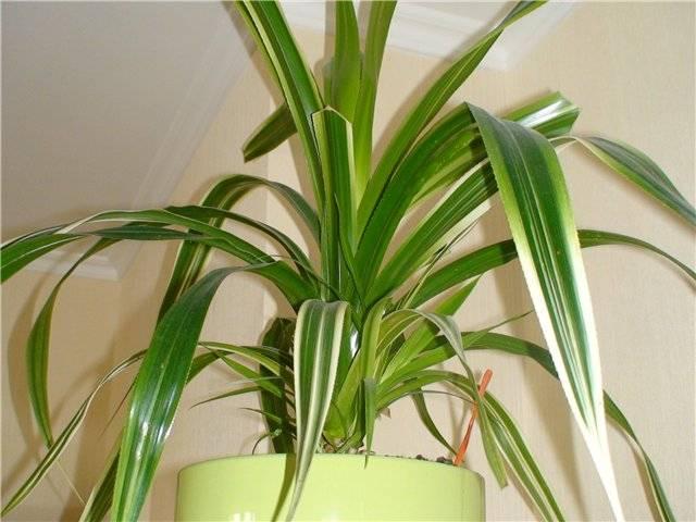 Комнатный цветок панданус (pandanaceae): виды и их названия с фото