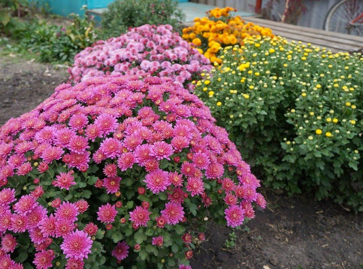 Садовая многолетняя хризантема: посадка и уход в открытом грунте осенью и весной, морозостойкие сорта и фото, размножение и укрытие на зиму