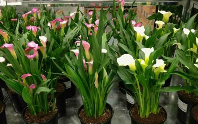 Всё о цветах каллах, выращивании и уходе в домашних условиях, о посадке в горшки