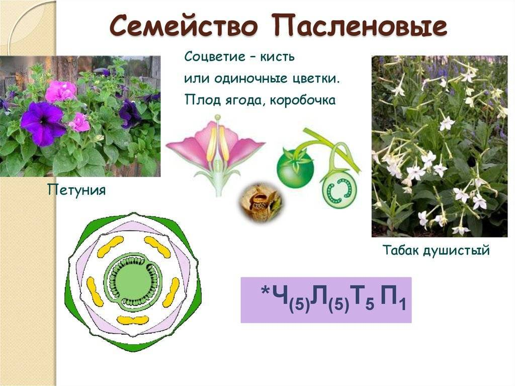 Пасленовые: представители семейства, виды и список пасленовых растений