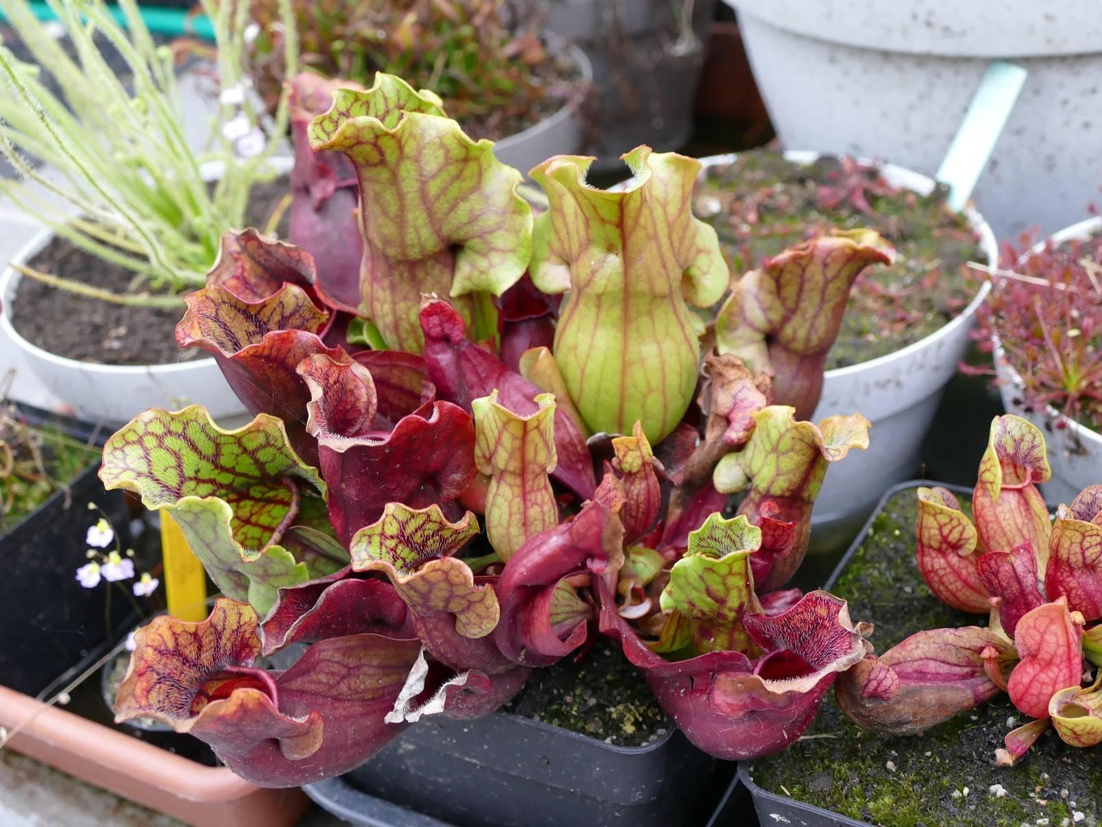 Популярный сорт розы типа флорибунда фрезия: выращивание жёлтого гибрида