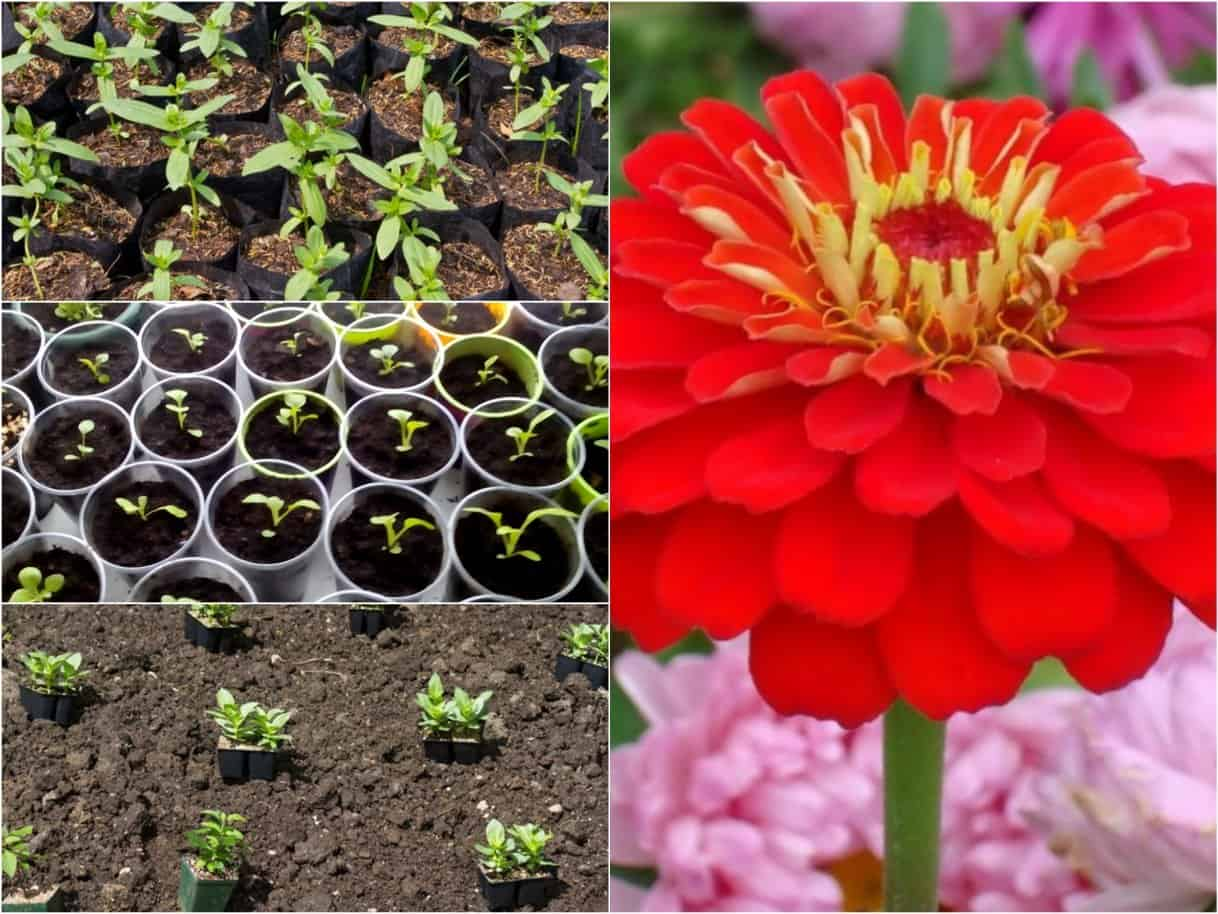 Цветок гелениум: посадка и уход, фото, выращивание в открытом грунте из семян