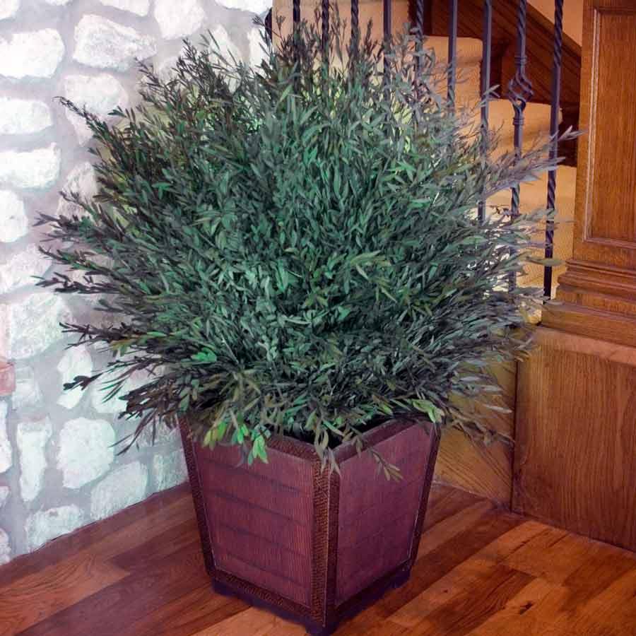 Эвкалипт (eucalýptus) в домашних условиях. уход, формирование, размножение.