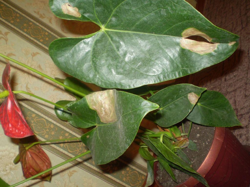 Желтеют листья у антуриума — что делать, почему сохнут и как лечить ?