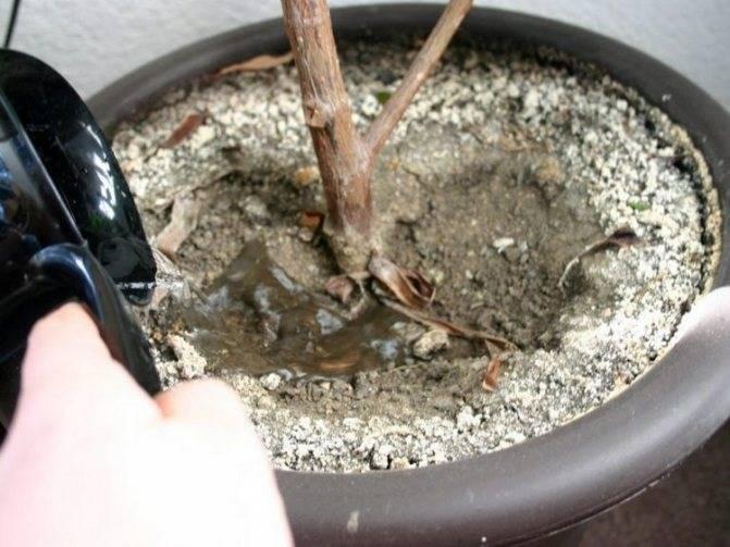 Посадка и уход за цветком камнеломка в горшке и открытом грунте