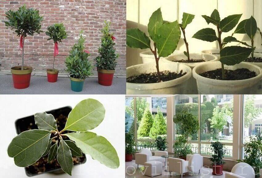 Лавровый лист: выращивание в домашних условиях, уход, разведение и описание с фото