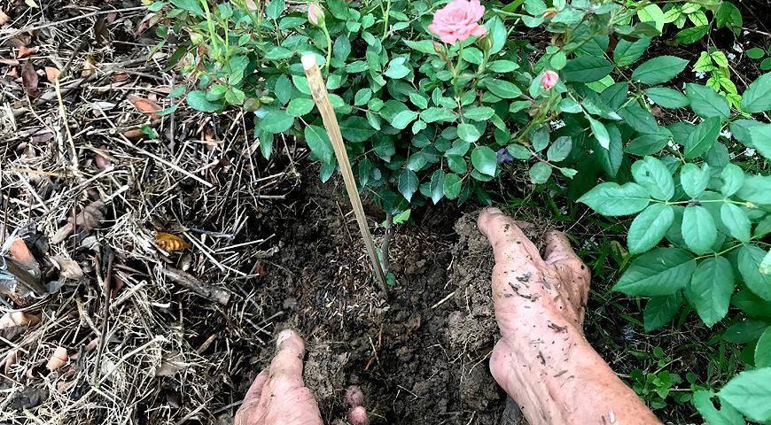 Подкормка и полив: как ухаживать за декабристом во время цветения?